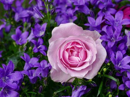 Tištěný obraz - Růže